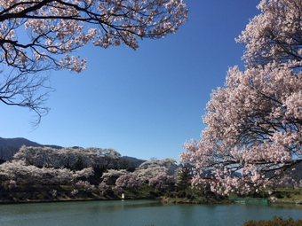koujisakurakotosi1.jpg
