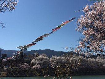 koujisakurakotosi2.jpg
