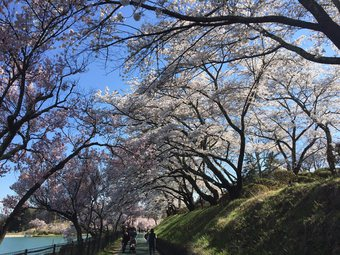 koujisakurakotosi4.jpg