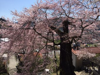 takadazakura4.jpg