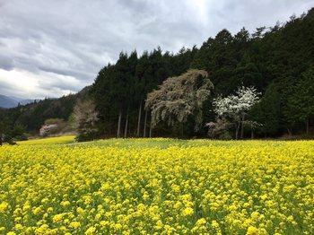 nanohananagisoyo4.jpg