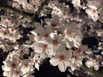 yozakuramatumatu4.jpg