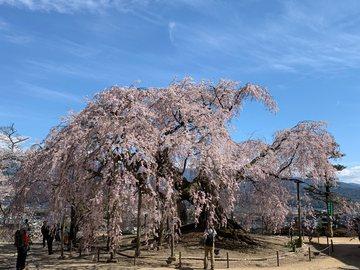 butaizakurahisassi1.jpg