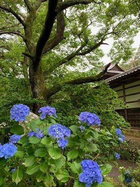 kikyouhoka4.jpg