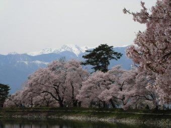 rokugousakurazannsu1.jpg